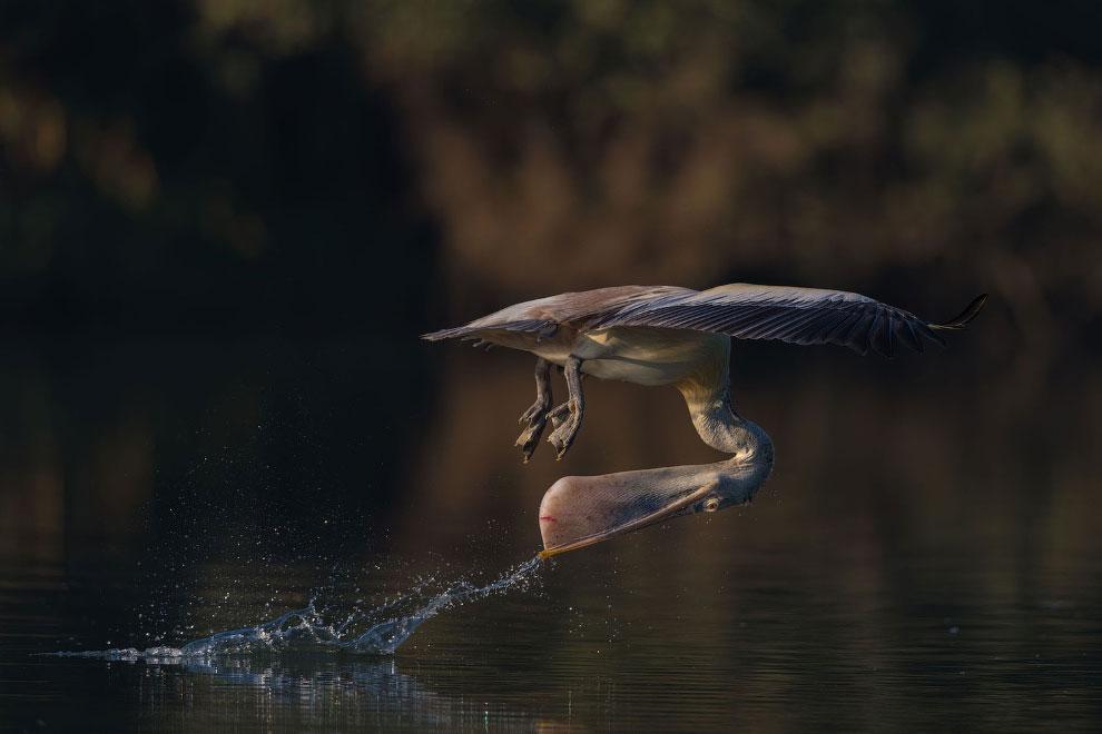 Серый пеликан и его умение вертеть головой