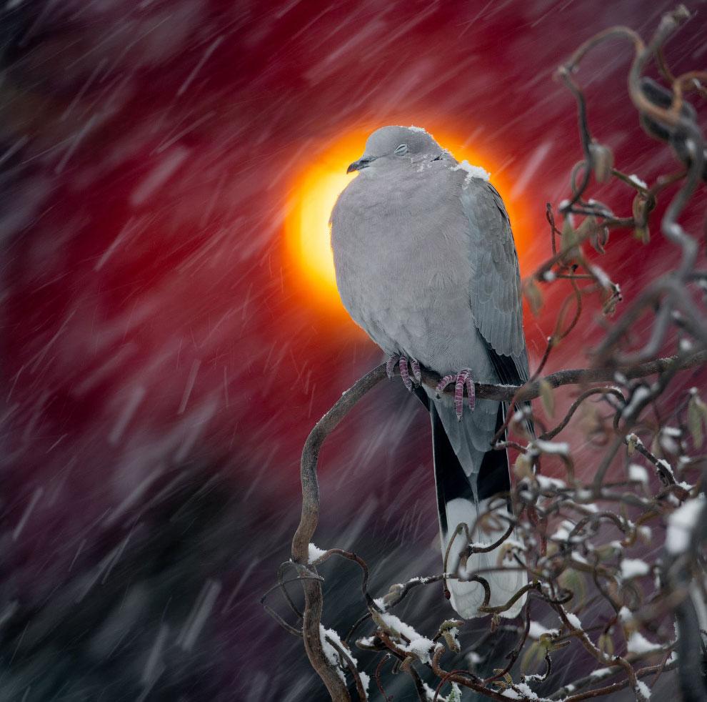 Голубь в снегу