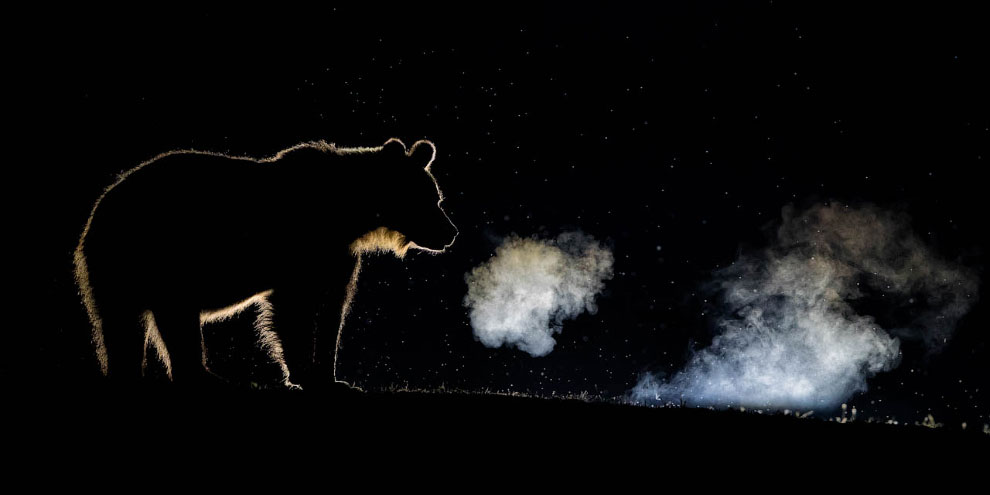 Бурый медведь рычит в лесу