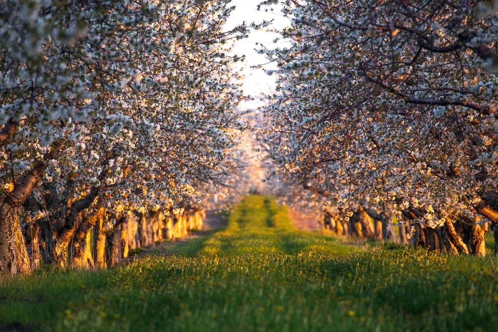 Вишневые деревья в цвету