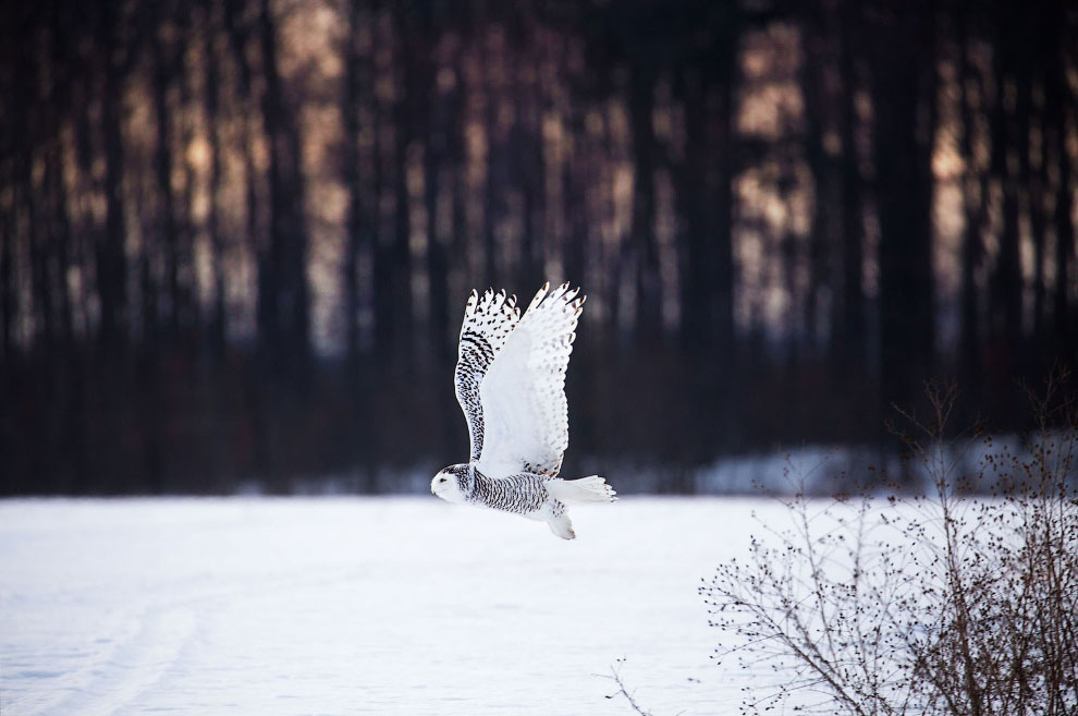 Белоснежная сова