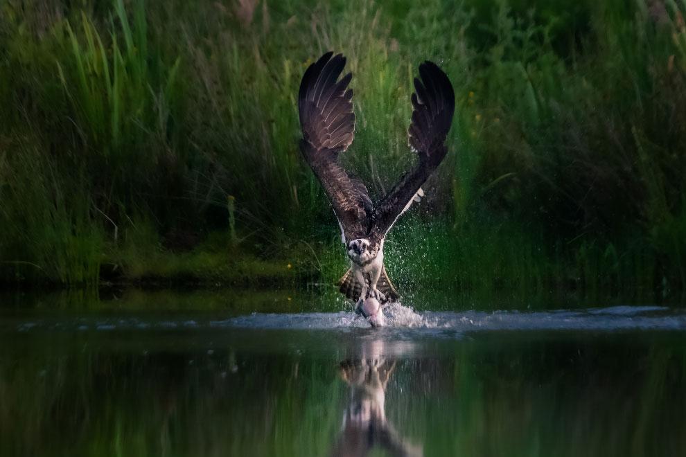 Скопа — хищная птица