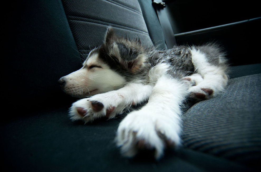 Щенок хаски спит в машине