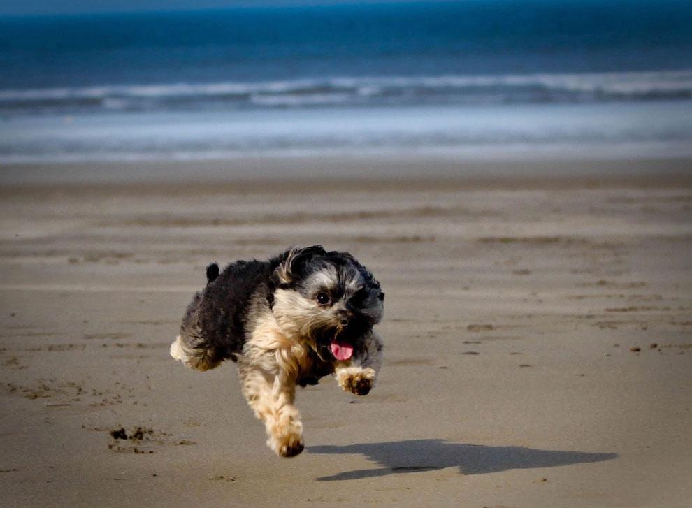 Щенок на пляж в Уэльсе