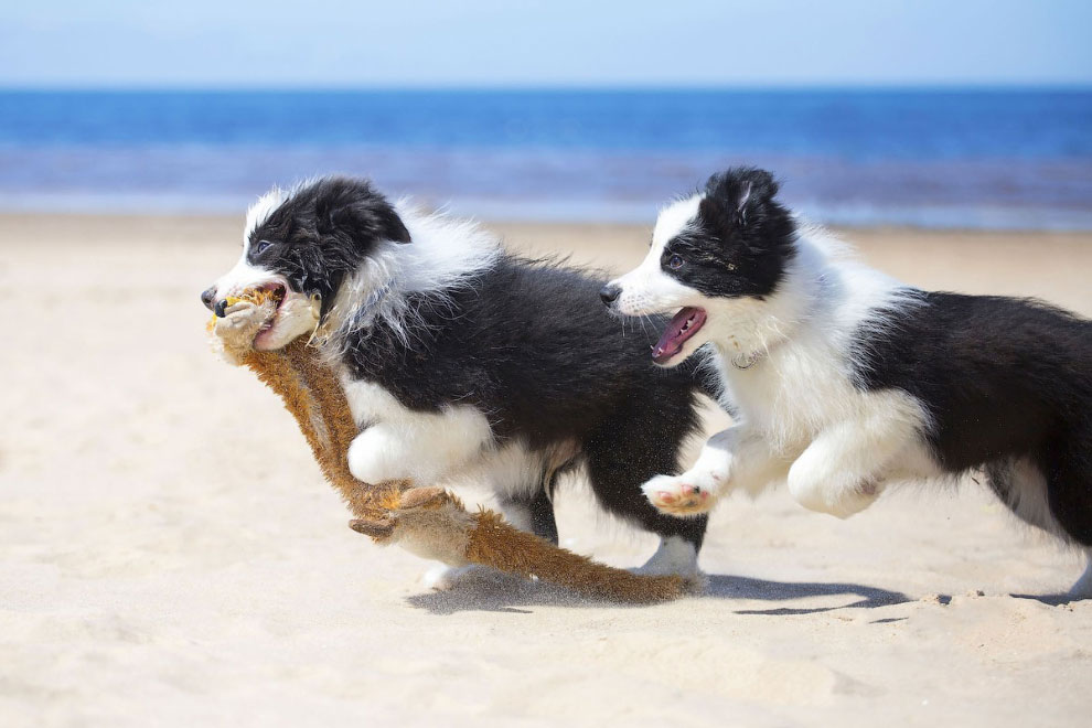 Щенки бордер-колли играют на пляже.