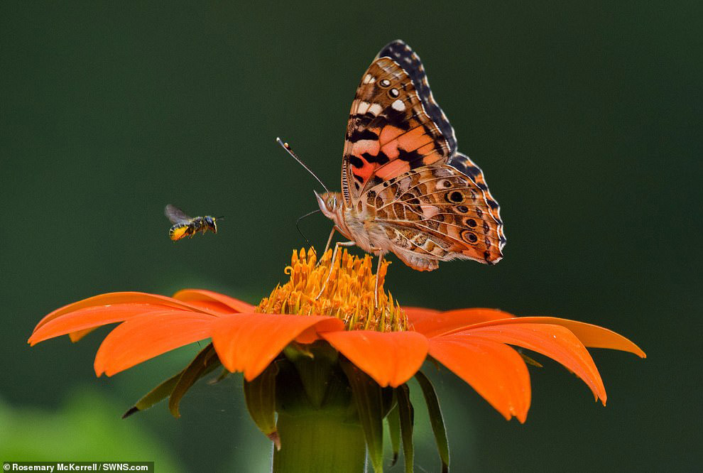 Бабочка и пчела