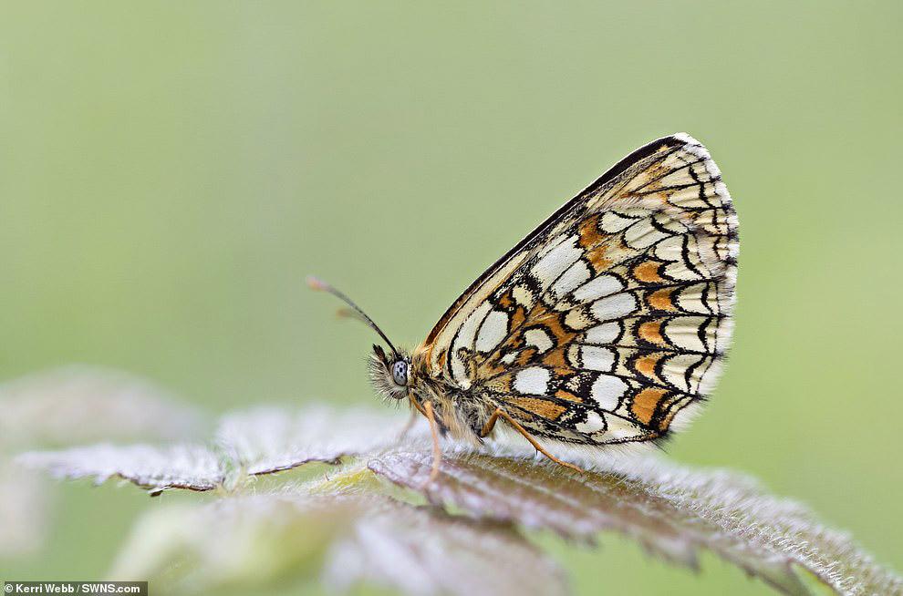 Еще одна прекрасная бабочка