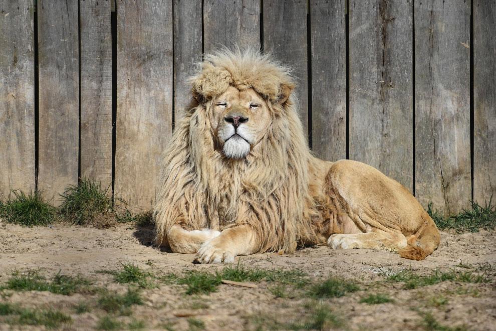 Лев принимает солнечную ванну в зоопарке в Польше