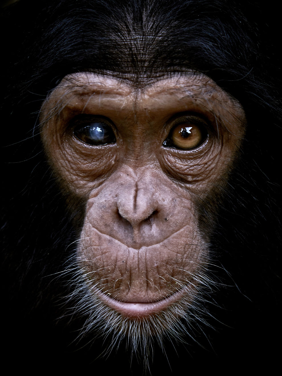 Феликс — шимпанзе, который был спасен от браконьеров в Конго