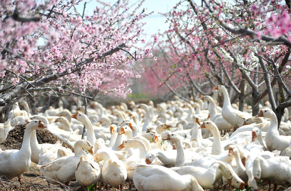 Весна и гуси.
