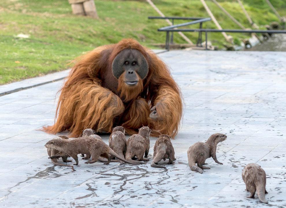 Орангутан и выдры