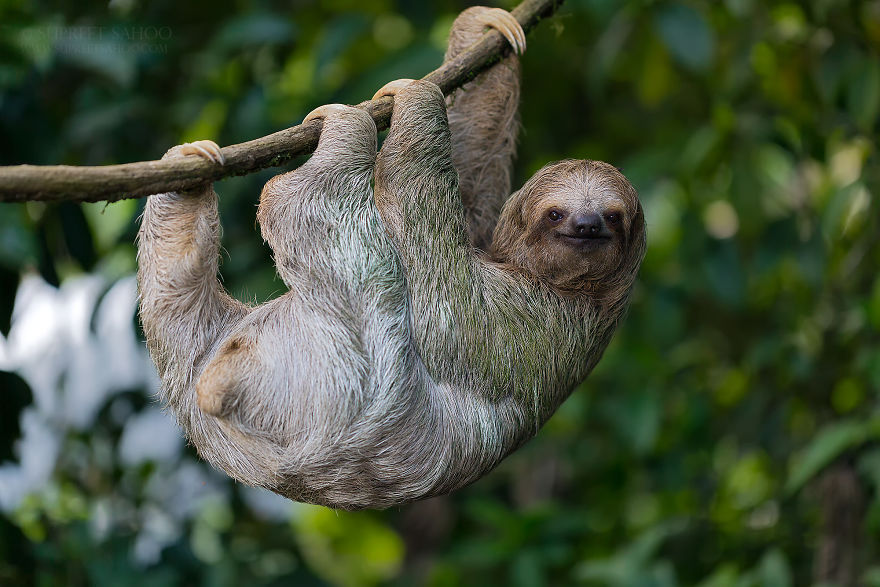 Трёхпалый ленивец