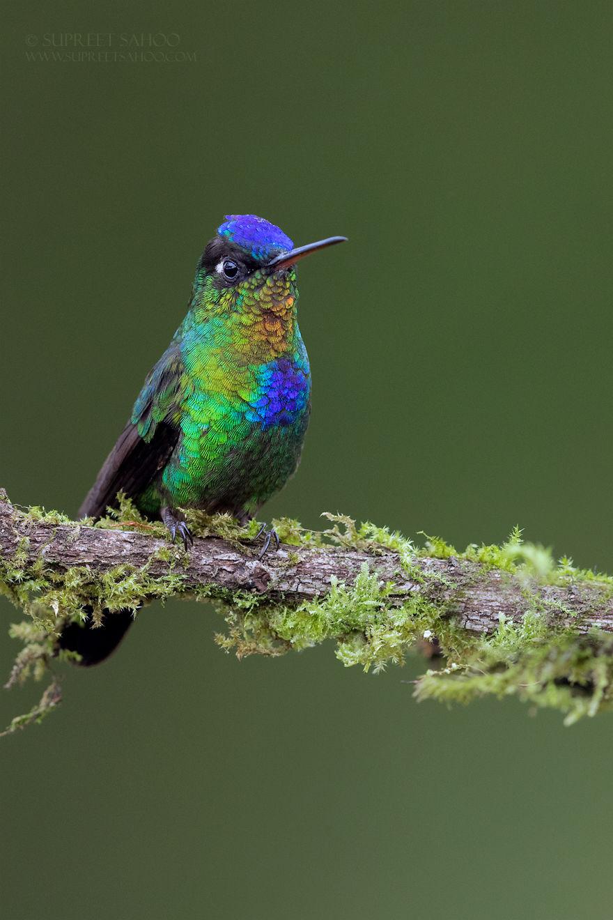 Огненногорлый колибри