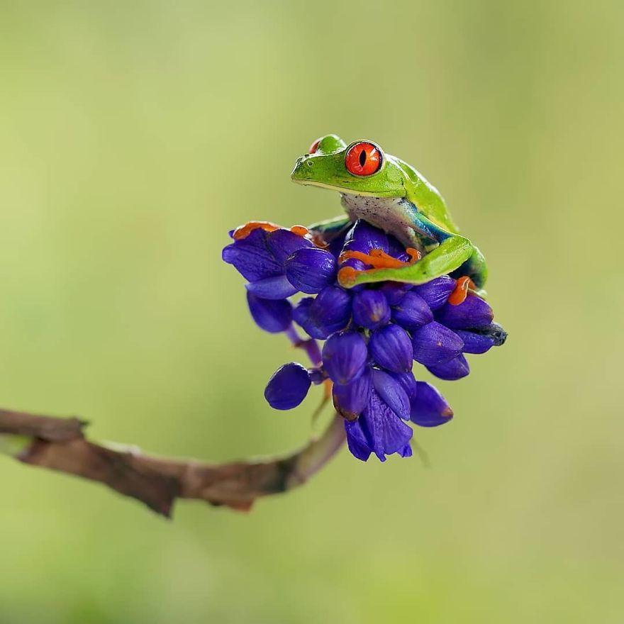 Красноглазая квакша