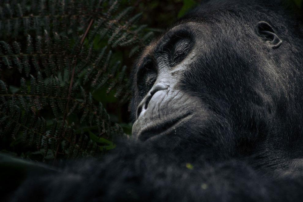 Горилла в лесу национального парка в Конго