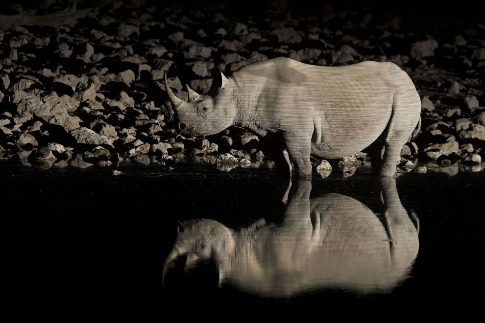 Вымирающий черный носорог, Намибия