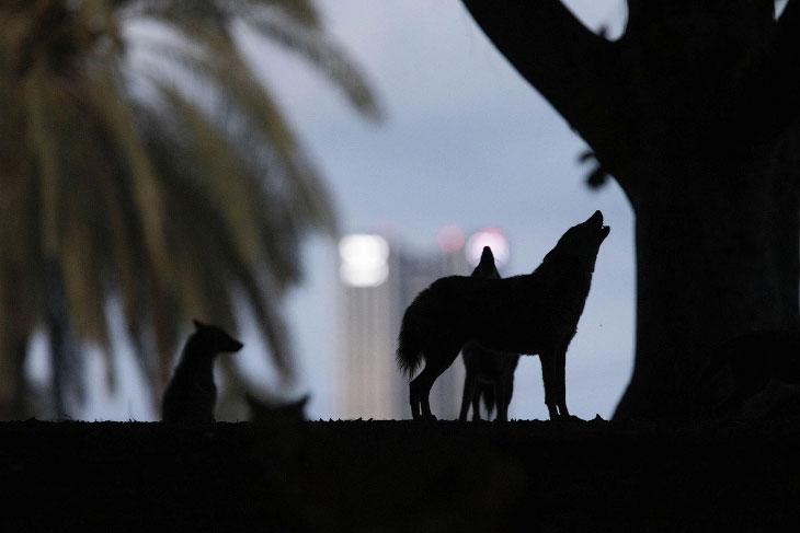 Коронавирусные новости: парк Яркон в Тель-Ависе заполонили шакалы
