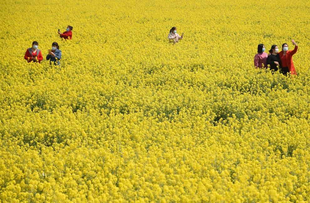 Поля рапса в провинции Хэбэй на севере Китая