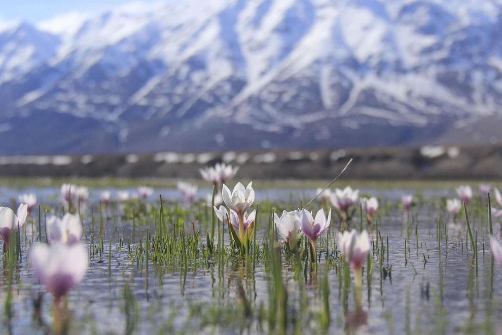 Крокусы на фоне гор в Турции