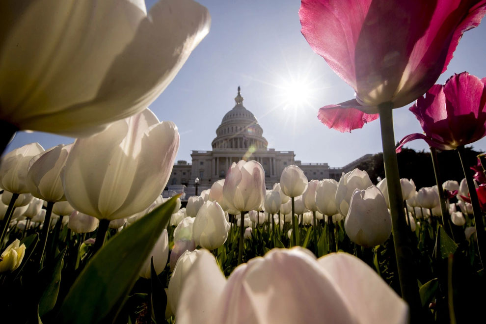 Тюльпаны в Вашингтоне