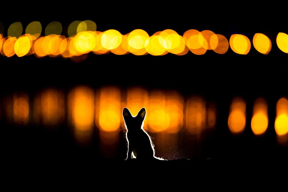 Аравийская красная лисица