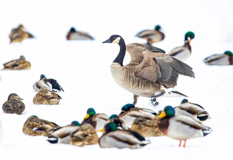 Канадский гусь и утки