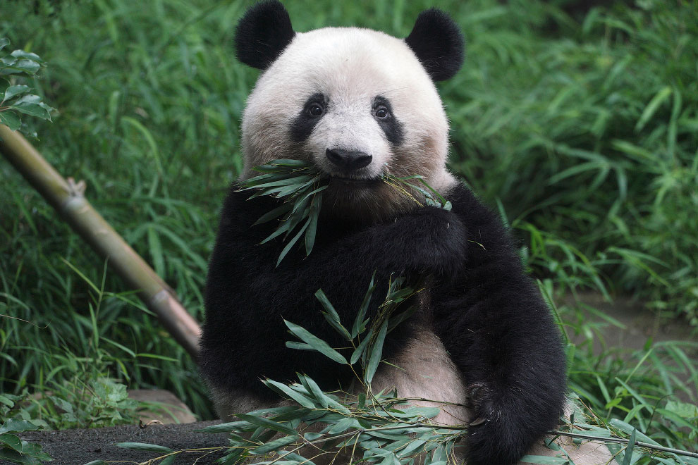 Трехлетний детеныш панды