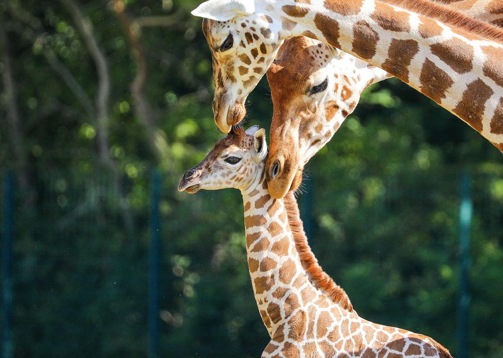 Новорожденный жираф Ротшильда