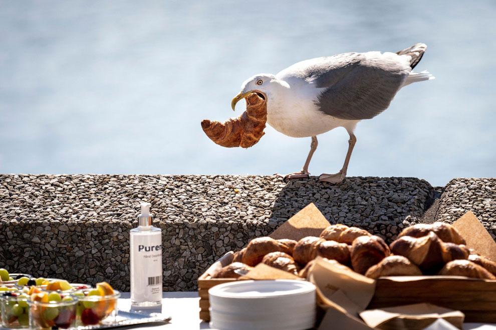Чайка крадет круассан в Копенгагене