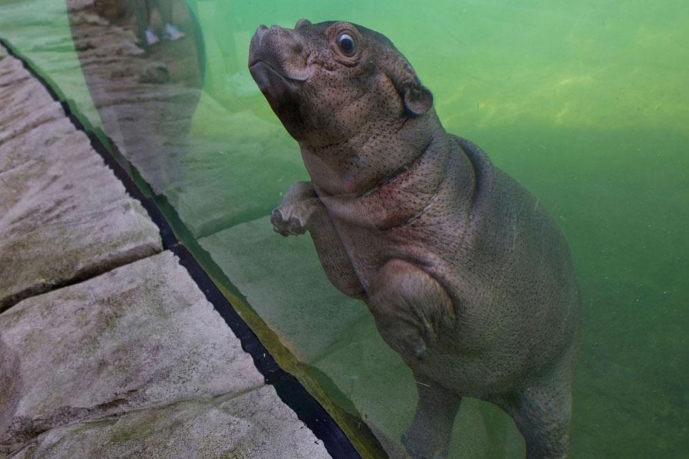Маленький бегемотик в зоопарке в Сент-Эньян, Франция