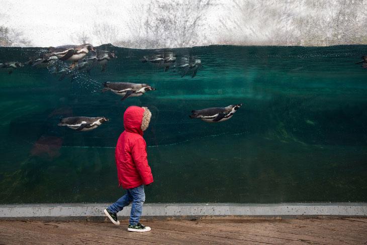 Мальчик и пингвины