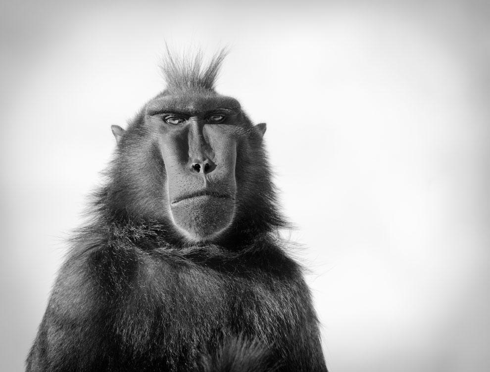 Портрет хохлатого павиана