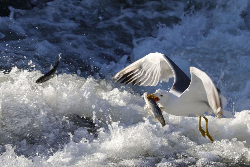 Чайка на рыбалке