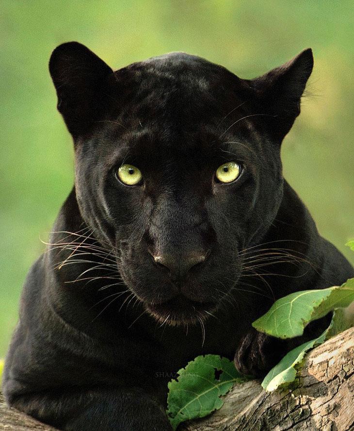 Потрясающие фотографии редкой черной пантеры