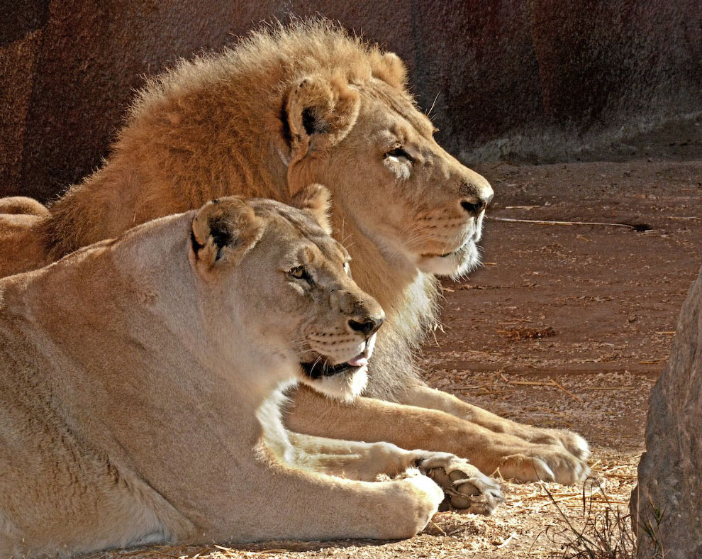 пара левів