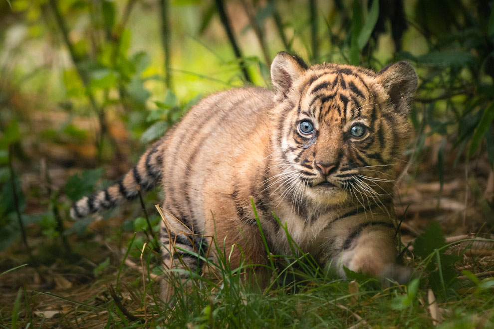 Poland Zoo Tiger