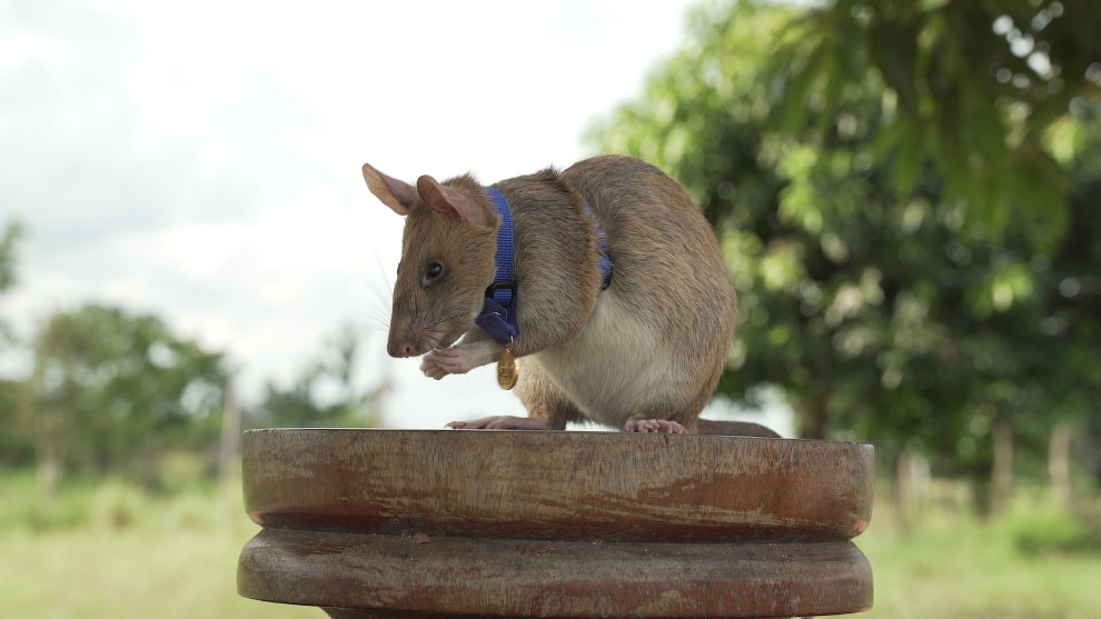 BRITAIN - CAMBODIA - AWARD - ANIMAL - RAT