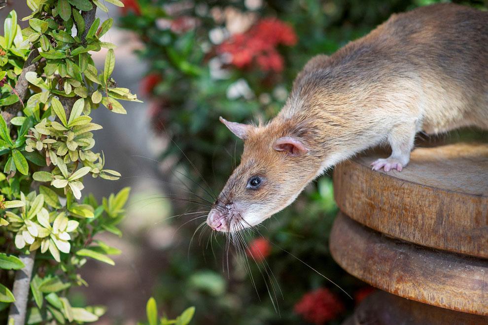 CAMBODIA-LANDMINES/RAT