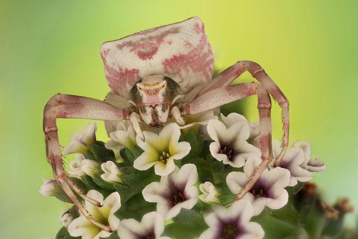 Цветочный паук