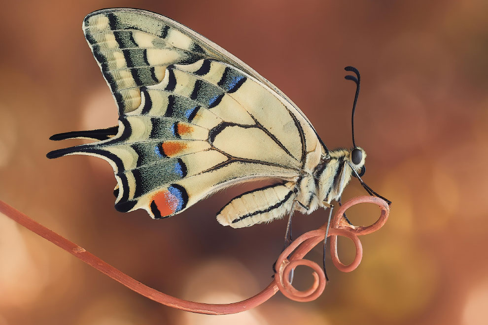 Бабочка-парусник