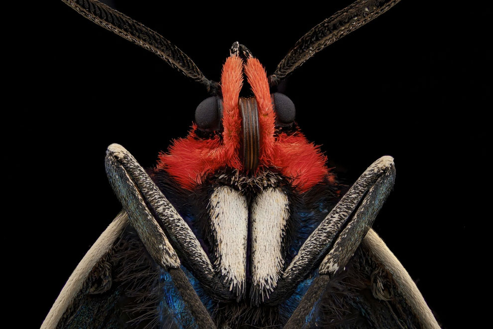 Мотылек (Ctenucha brunnea)