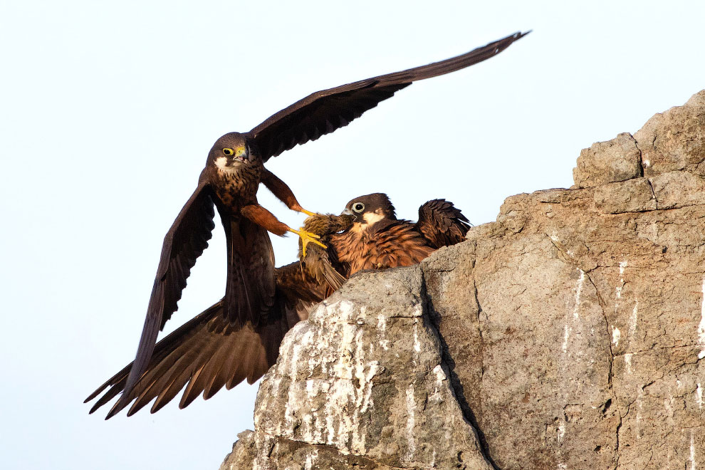 Сокол Элеоноры принес в гнездо еду
