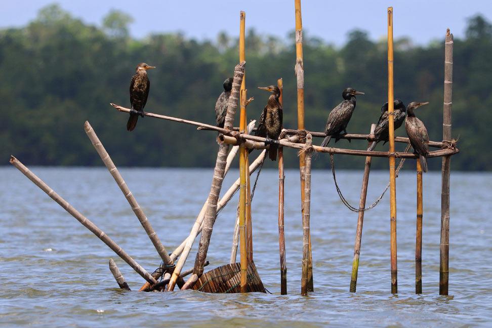 Большие бакланы на рыбалке во Шри-ланке