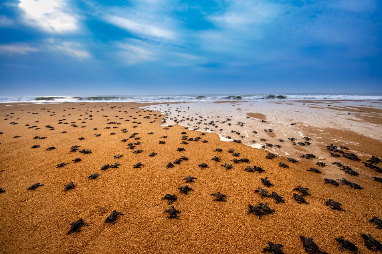 Тысячи морских черепах по побережье Индии