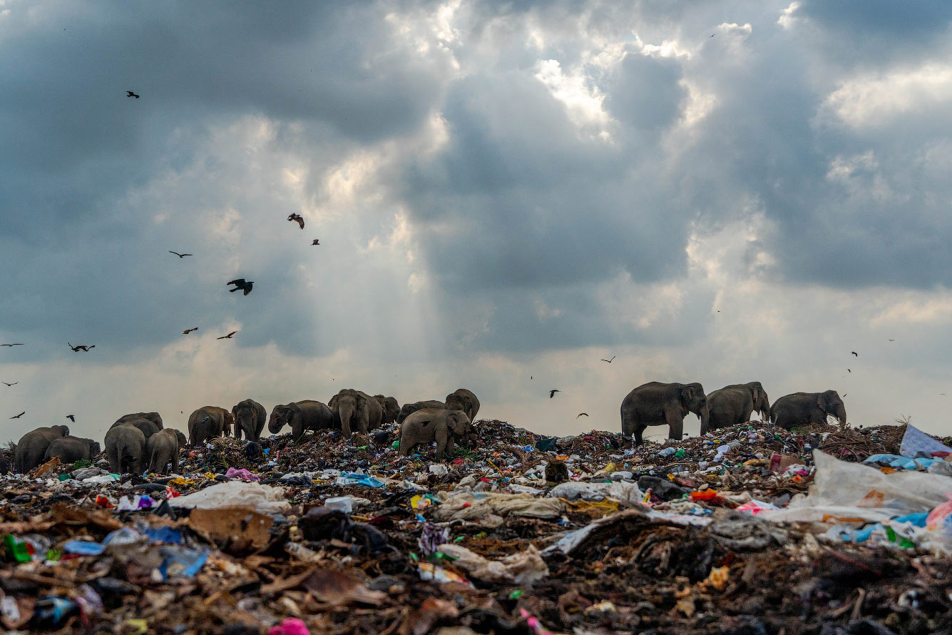 Слоны приходят на свалку во Шри-ланке в поисках еды