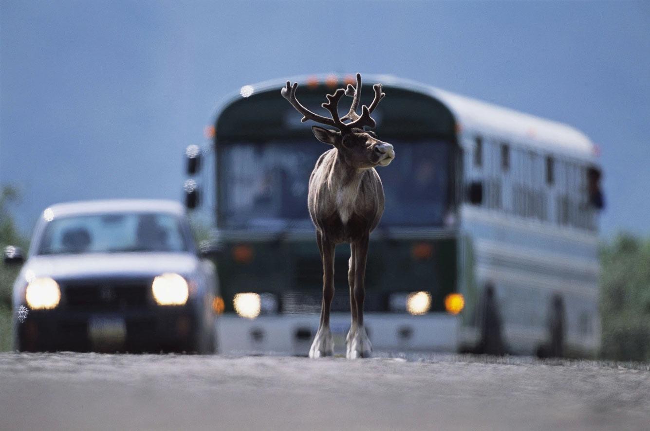 Северный олень на дороге
