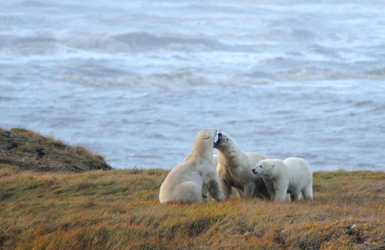 Белые медведи на севере Аляски
