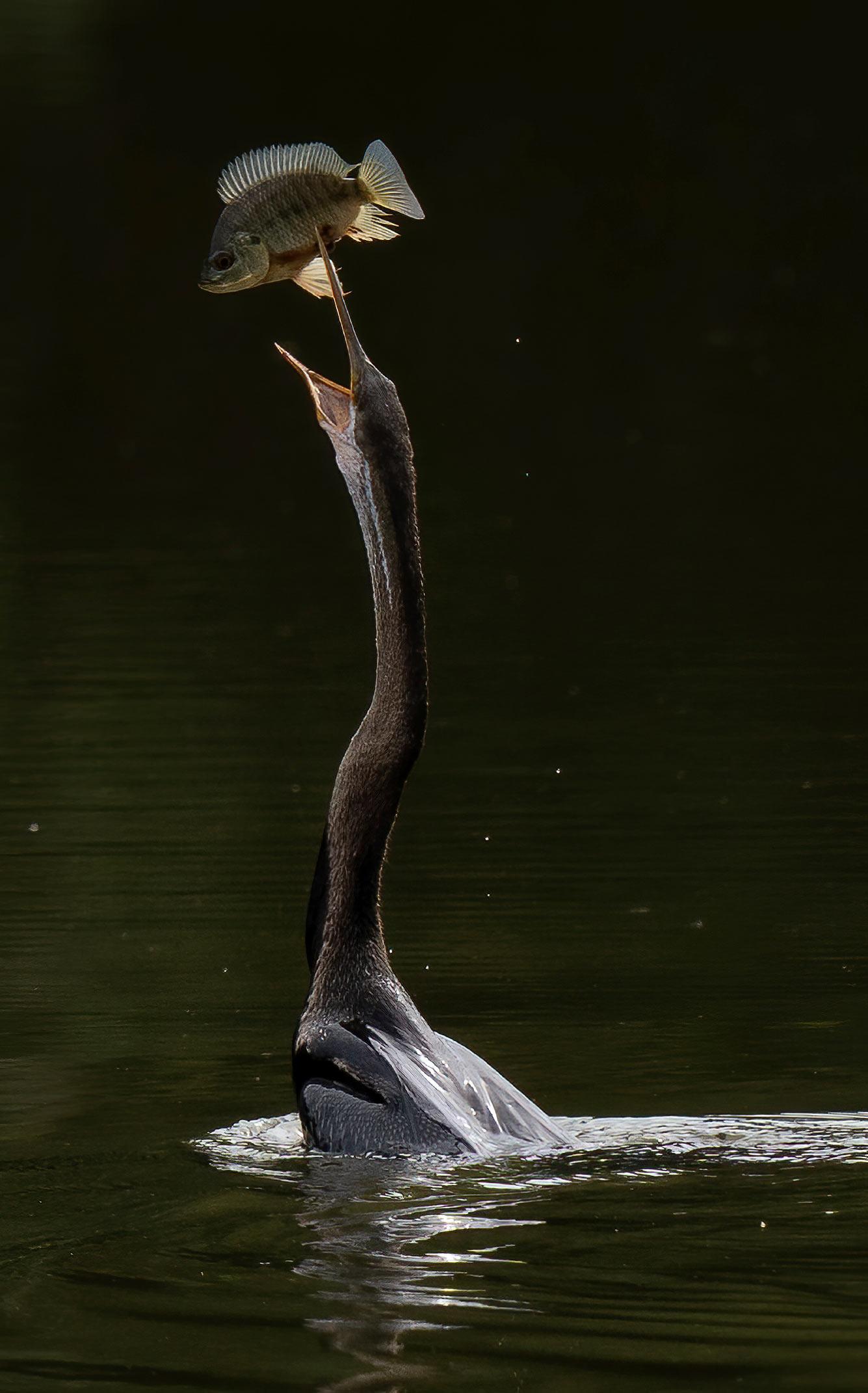 Индийская змеешейка на рыбалке