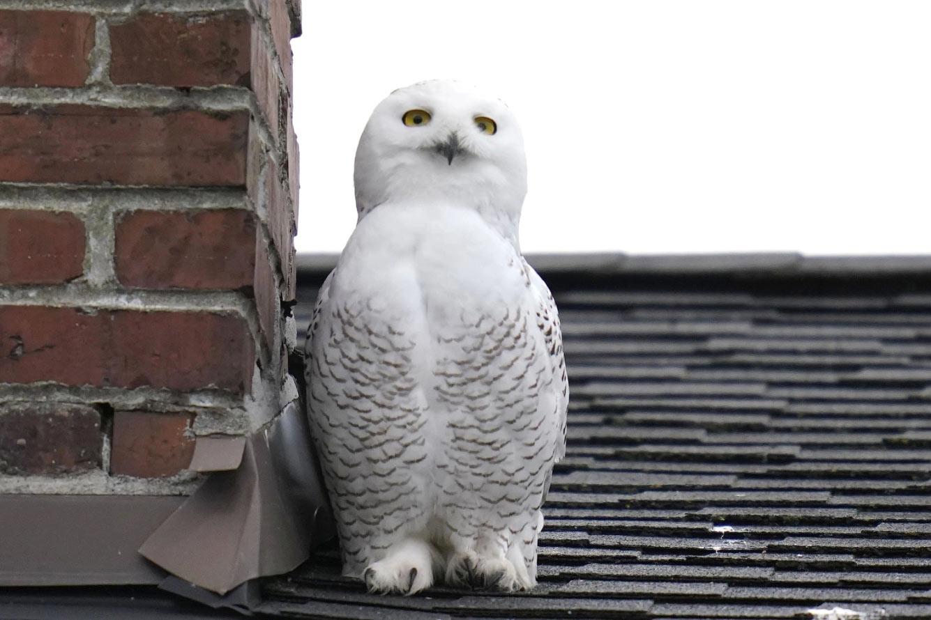 Белая сова в Сиэтле, штат Вашингтон