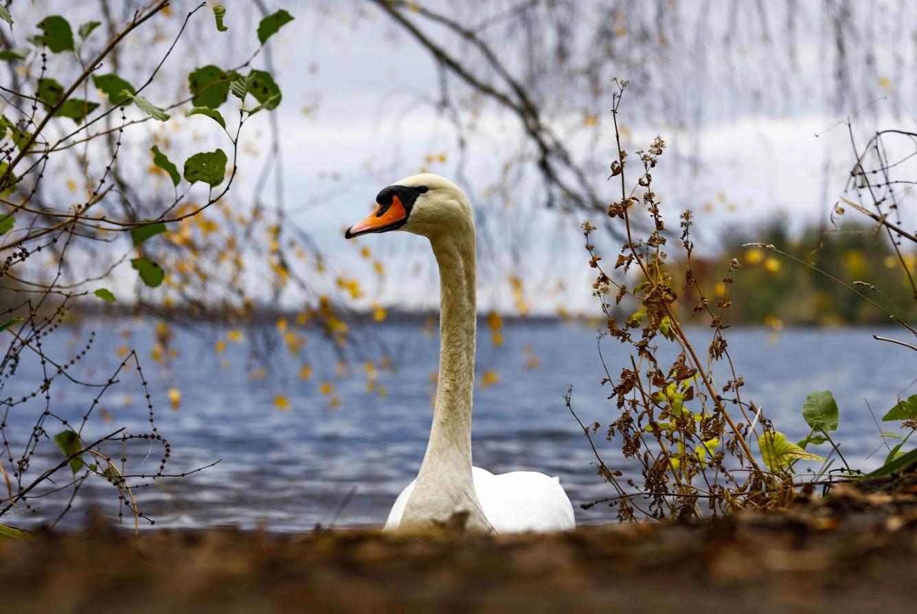 Лебедь на озере Тегелер-Зее в Берлине, Германия
